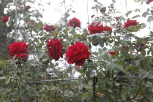 Hoa hồng cổ vào đất phương Nam