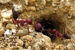 Kỳ lạ loài kiến thấy đồ ăn ngon quên cả đường về