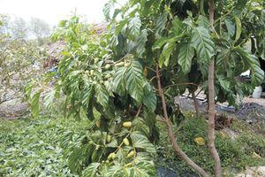 Hai bài thuốc ổn định huyết áp từ rễ cây nhàu
