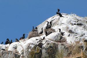 Phân chim mòng biển từng là 'xương sống' nền kinh tế Peru