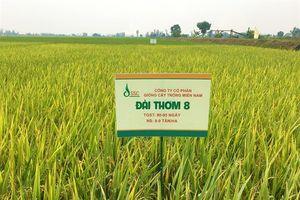 Lúa giống Đài Thơm 8 bị 'nhái', nông dân ĐBSCL khốn đốn