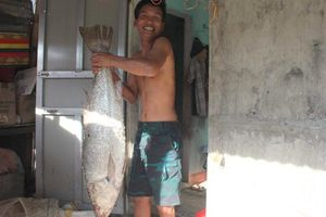 Quảng Trị: Bắt được cá nghi sủ vàng khủng nặng 12 kg, dài hơn 1 mét