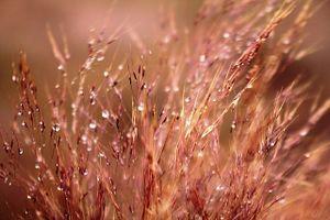 Thơ mộng đồi cỏ hồng dưới những gốc thông bonsai