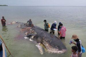 Indonesia: Phát hiện hơn 1.000 vật dụng bằng nhựa trong xác cá voi