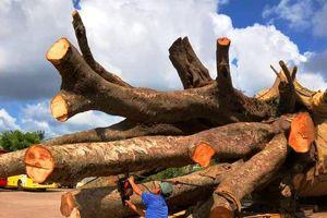 Bình Định: Vụ chở cây 'siêu khủng': Xử phạt 12,5 triệu đồng, buộc cắt bớt ngọn cây