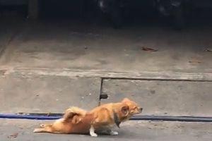 Chó giả liệt để lê lết xin ăn trên phố Bình Dương