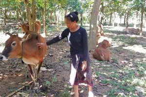 Bò dự án bị mắc bệnh trước, hơn 100 con bò nhà bị dịch bệnh sau đó