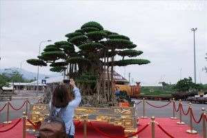Hà Nội: Có gì đặc biệt ở cây sanh 'Đại thế vân tùng' giá 10 tỉ dát tới 5 cây vàng?
