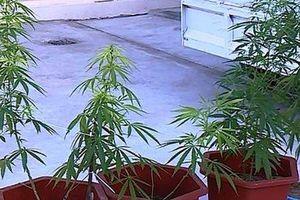 Phát hiện một thanh niên TP Thanh Hóa trồng cần sa tại nhà riêng
