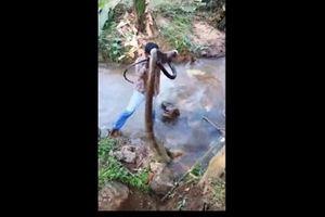 Clip giải cứu rắn hổ mang dài hơn 4 mét