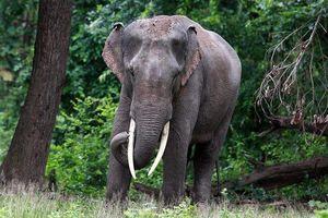 Voi châu Á, loài voi thông minh và độc đáo