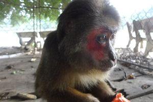 Chuyển giao khỉ mặt đỏ quý hiếm về Trung tâm Cứu hộ
