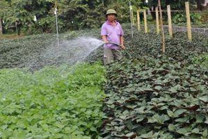 Trồng cây ăn lá, bán loài có hương, nông dân phất lên trông thấy