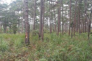 Điều tra xử lý vụ gần 700 cây thông bị đầu độc