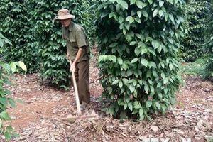 Bà Rịa-Vũng Tàu: Nông dân trồng tiêu kém vui dù được mùa