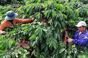 Ngày Cà phê Việt Nam lần 2 năm 2018: Phát triển cà phê Việt Nam bền vững