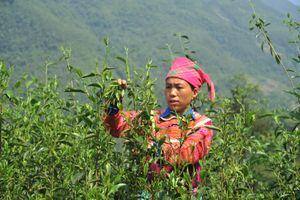 'Thập đại danh trà Việt' tại cuộc thi pha trà thế giới
