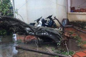 Bão số 9 Usagi: Đảo Phú Quý gió mạnh cấp 7, nhiều gốc cây ngã đổ
