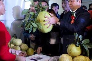 Trồng bưởi tiến vua, nông dân Đại Minh đút túi 50 tỷ đồng