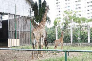 Gia đình hươu cao cổ ở Thảo Cầm viên Sài Gòn có thành viên mới
