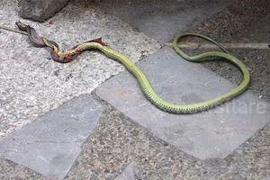 Clip: 'Kinh dị' cảnh rắn vẫn quằn quại dù bị 'nướng sống' nửa người