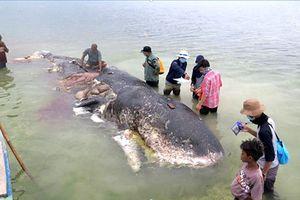 Phát hiện cá voi chết ở Indonesia có 1.000 mảnh nhựa trong bụng