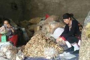 Bài 6: 500 vị thuốc quý nổi tiếng của người Dao làm nên bài thuốc trị tiểu đường