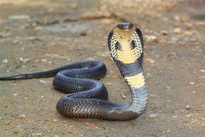 Hổ mang Ai Cập, loài rắn trong truyền thuyết và đời thực