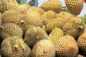 Lý do trái sầu riêng ở Tiền Giang rớt giá, có nguy cơ ế ẩm khiến nhà vườn 'kêu cứu'