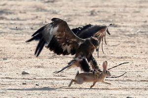 Ảnh động vật: Đại bàng săn thỏ, ngựa hoang quyết chiến...