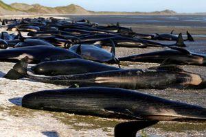 145 con cá voi mắc cạn và thiệt mạng trên biển New Zealand