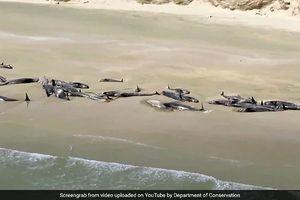 Hàng trăm cá voi chết bí ẩn, nằm phơi xác trên bờ biển New Zealand