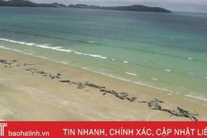 145 con cá voi chết đồng loạt ở bờ biển New Zealand