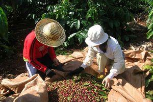 Xuất khẩu cà phê chế biến tăng nhanh