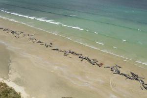 145 con cá voi mắc cạn đến chết dọc bờ biển New Zealand