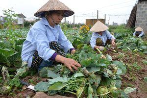 Phát triển chuỗi rau, khắc phục cảnh 'sáng tươi, chiều héo': Kiến nghị từ thực tế