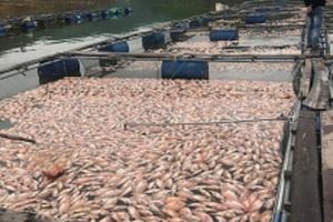 Cá nuôi tại hồ thủy lợi đập Trà Cân chết hàng loạt