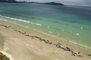 New Zealand: Cá voi chết hàng loạt không rõ nguyên nhân
