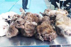 Nghệ An: Bắt người đàn ông vận chuyển 6 con khỉ đã chết