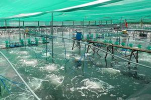 Nông dân ĐBSCL lãi tiền tỷ nhờ mô hình nuôi tôm Combine
