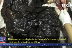 Phát hiện hơn 1.000 mảnh nhựa trong bụng cá voi chết ở Indonesia