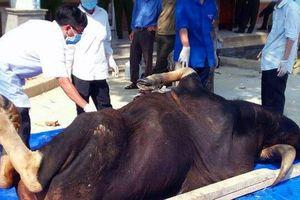 Phát hiện cá thể bò tót nặng 700kg chết trong khu bảo tồn thiên nhiên