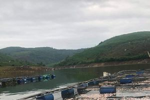 Cá chết hàng loạt ở Quảng Nam, dân thiệt hại tiền tỷ