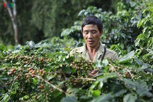 Điện Biên: Người dân Mường Ảng vẫn lao đao vì cà phê mất mùa, mất giá