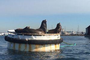 13 con sư tử biển bị chết ở bờ biển Washington trong 3 tháng qua