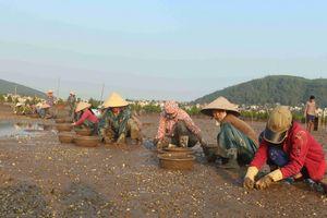 Nông dân Nghệ An điêu đứng vì ngao, cá, hàu chết hàng loạt