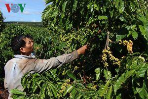 Cà phê tại Đắk Lắk mất mùa, rớt giá