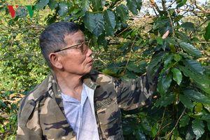 Trồng cà phê xen cây ăn quả, lão nông thu nhập tới 700 triệu đồng