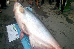 Bắt được cá tra dầu 'khủng' dài 2,5 m, nặng 240 kg