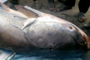 'Thủy quái' cá tra dầu khủng nặng 240 kg được bán giá 70 triệu đồng